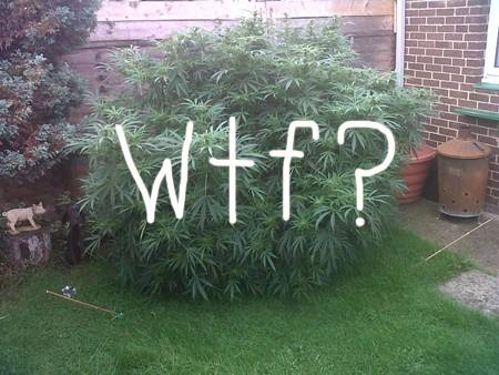 elderly brits grow giant marijuana plant